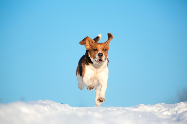 Ritratto di un cane da lepre in inverno, giornata di sole