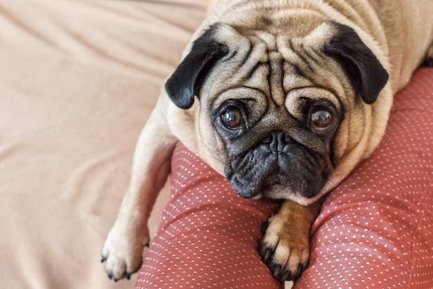 Ritratto di un cane del carlino con i grandi occhi