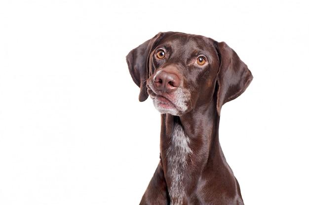 Ritratto di un cane del puntatore che fa smorfia divertente