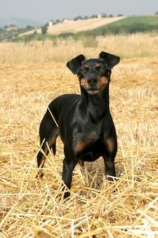 Ritratto di un cane di manchester terrier