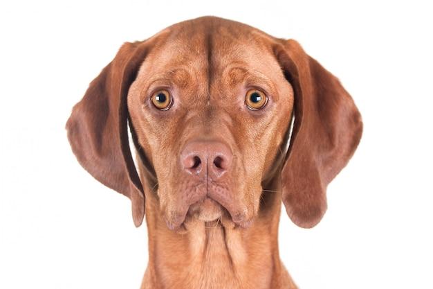 Ritratto di un cane femmina vizsla