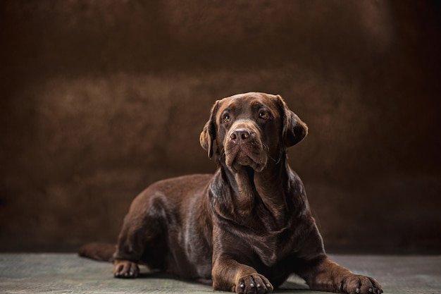 Ritratto di un cane labrador nero preso su uno sfondo scuro.