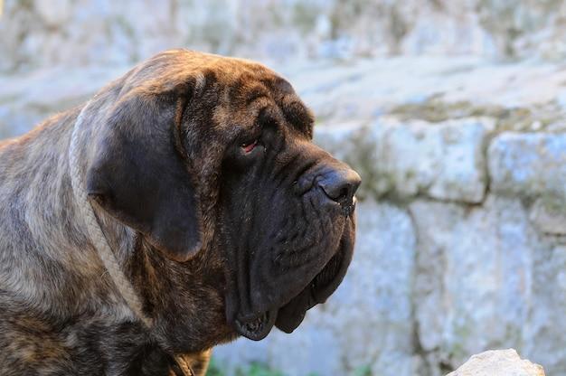 Ritratto di un cane mastino