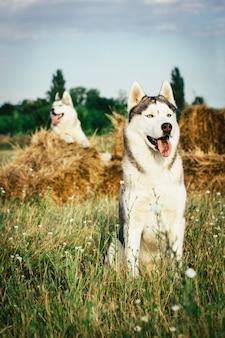 Ritratto di un cane sui covoni di fieno nelle zone rurali. siberian husky con gli occhi azzurri.