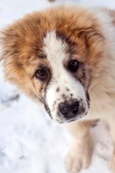 Ritratto di un cucciolo di tre mesi di pastore dell'asia centrale