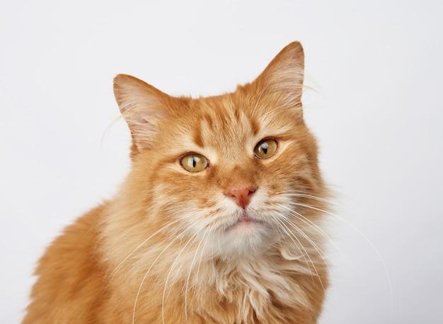 Ritratto di un gatto adulto dello zenzero su un bianco