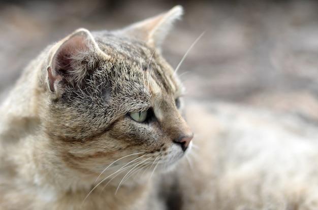 Ritratto di un gatto di tabby a strisce grigio con gli occhi verdi
