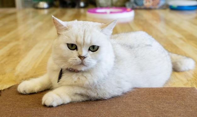 Ritratto di un gatto diritto scozzese, primo piano