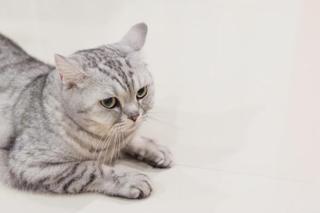 Ritratto di un gatto piega scozzese