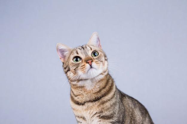 Ritratto di un giovane bellissimo gatto isolato su sfondo bianco. ha la pelliccia marrone e nera e gli occhi verdi. a casa, al chiuso. stile di vita