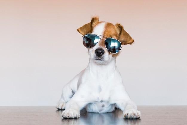 Ritratto di un giovane cane carino piccolo guardando la telecamera e indossando occhiali da sole moderni. animali domestici al chiuso.