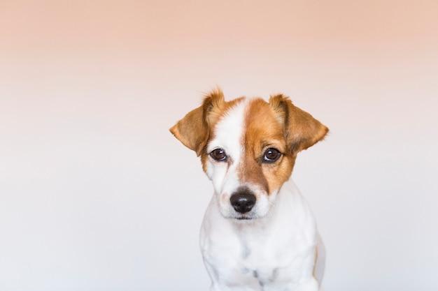 Ritratto di un giovane cane carino piccolo su sfondo bianco, guardando la telecamera da vicino. animali domestici al chiuso. amore per il concetto di animali.