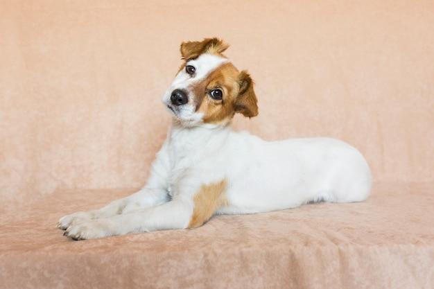 Ritratto di un giovane cane piccolo carino su sfondo marrone. amore per il concetto di animali. animali domestici al chiuso. amore per il concetto di animali