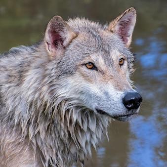 Ritratto di un lupo tundra bagnato
