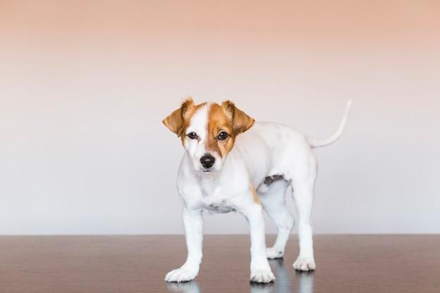 Ritratto di un simpatico cane di piccola taglia guardando la telecamera. animali domestici al chiuso.