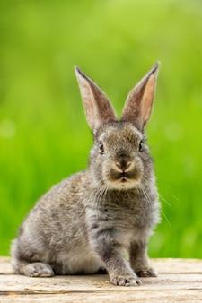 Ritratto di un simpatico coniglio grigio lanuginoso con le orecchie su un verde naturale
