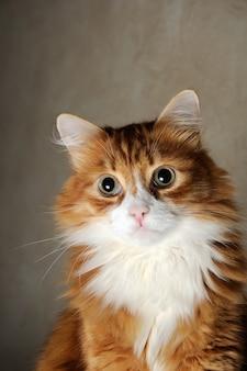 Ritratto di un soffice gatto dai capelli rossi