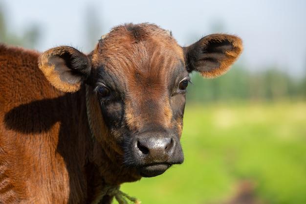 Ritratto di un vitello