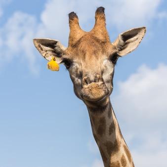 Ritratto di una giraffa curiosa sulla priorità bassa del cielo blu