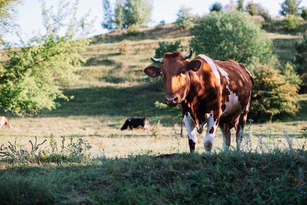 Ritratto di una mucca al pascolo nel campo