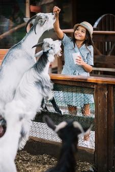 Ritratto di una ragazza sorridente che alimenta i chip alla capra nel granaio