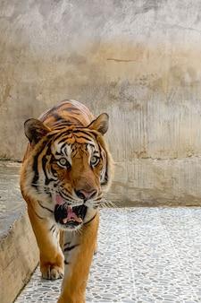 Ritratto di una tigre in un'azienda agricola della tailandia. animale selvatico in limitazione