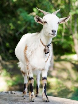 Ritratto di vista frontale di una capra bianca