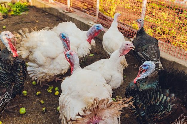 Ritratto di wild turkey, meleagris gallopavo, testa blu e rossa. scena animale della fauna selvatica dalla natura.