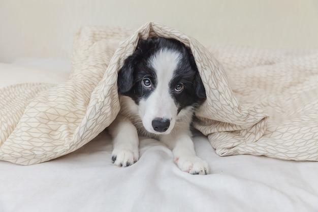 Ritratto divertente del cucciolo di cane smilling sveglio border collie a letto a casa