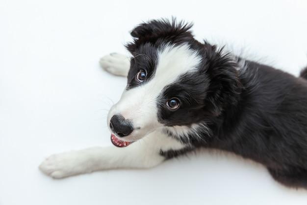 Ritratto divertente di border collie sorridente sveglio del cucciolo di cane su fondo bianco