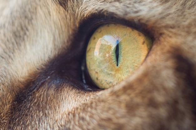 Ritratto estremamente ravvicinato del gatto domestico tricolore tabby maine coon. foto del primo piano dell'occhio di gatto del maine coon.