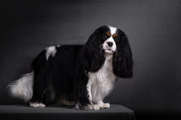 Ritratto sprezzante del cane dello spaniel di re charles sul nero