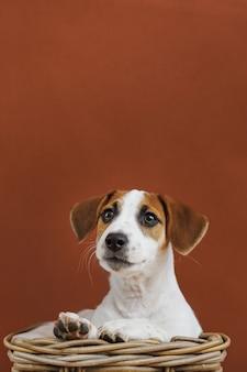 Ritratto sveglio del cucciolo di jack russell terrier.