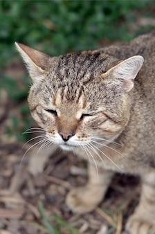 Ritratto triste della museruola di un gatto di soriano a strisce grigio con gli occhi verdi, fuoco selettivo