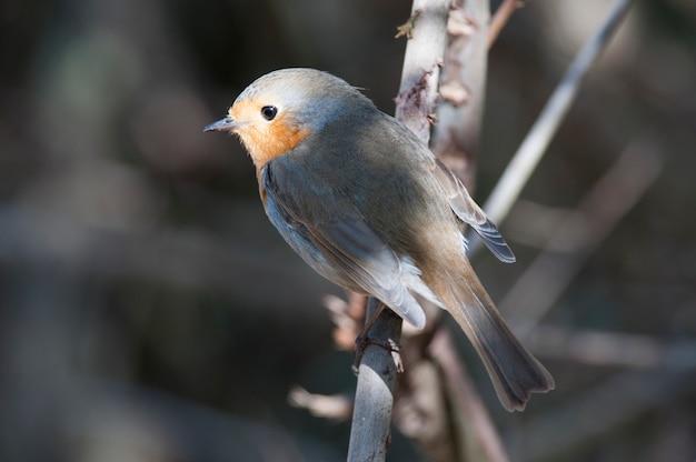 Robin arroccato su un ramo