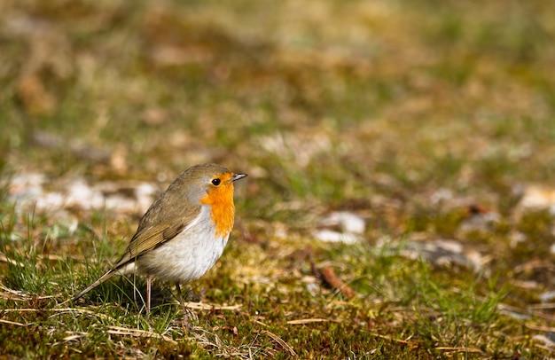 Robin di canto seduto in muschio ed erba sul terreno, copia spazio sul lato superiore e destro, norvegia