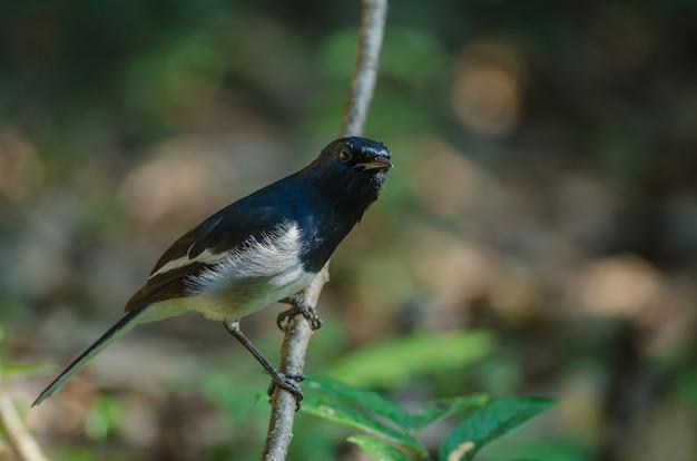 Robin di gazza orientale (copsychus saularis) sul ramo