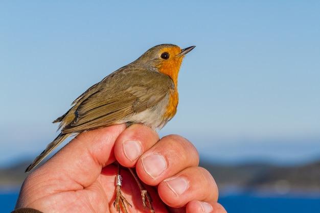 Robin, erithacus rubecula, uccello nella mano di una donna per la fascia di uccelli