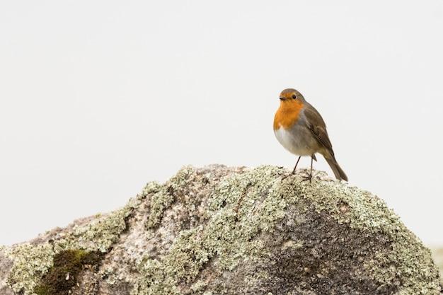 Robin europeo su roccia