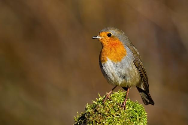 Robin europeo sveglio che si siede sul muschio verde