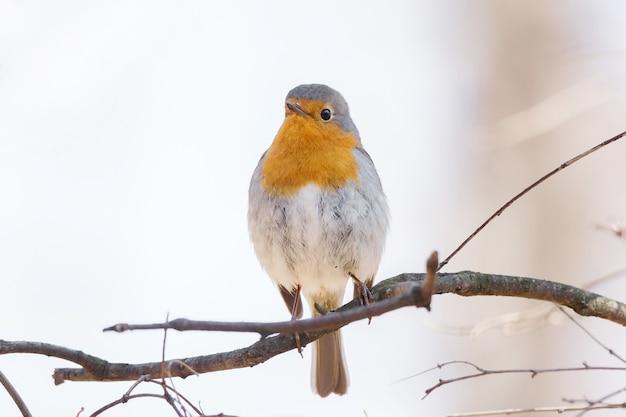 Robin su un ramo