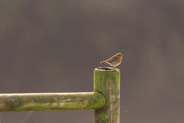 Robin su una staccionata di legno