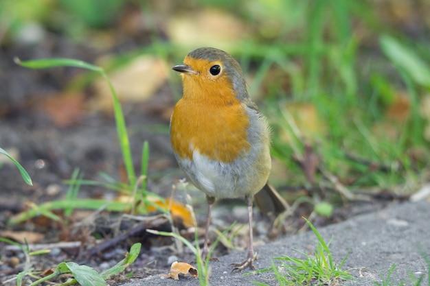 Robin sull'erba