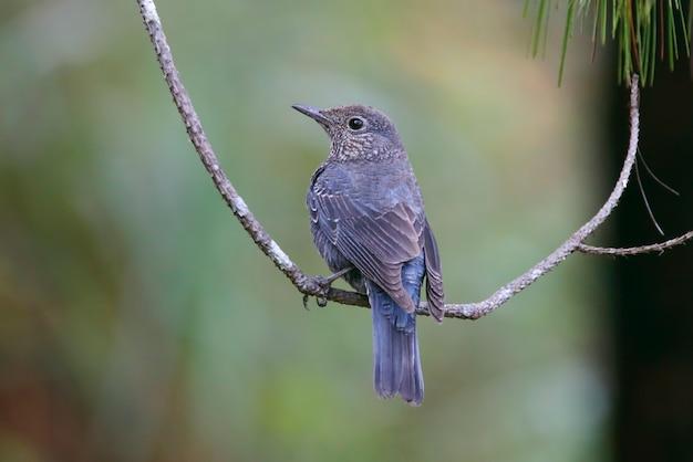 Rockthrush chestnut-belli monticolabirds della tailandia