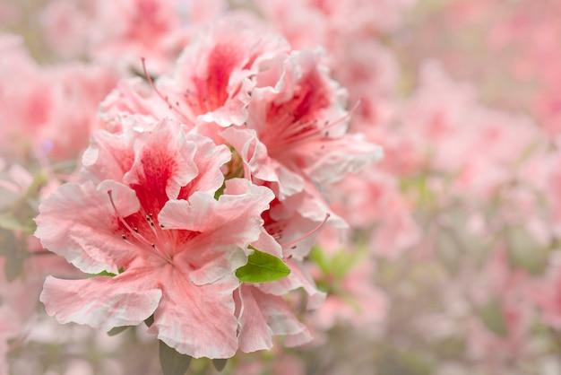 Rododendro rosa di fioritura (azalea), primo piano, fuoco selettivo, spazio della copia.