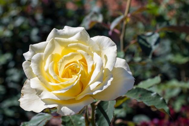 Rosa bianca del primo piano all'aperto