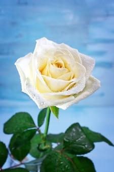 Rosa bianca pura con gocce d'acqua