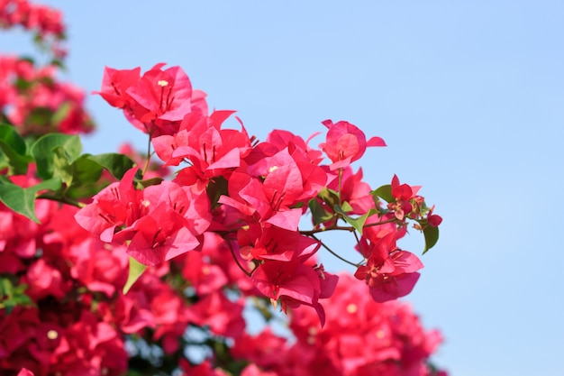 Rosa bougainvillea glabra fiore choisy con foglie bella carta vintage fiore nel giardino