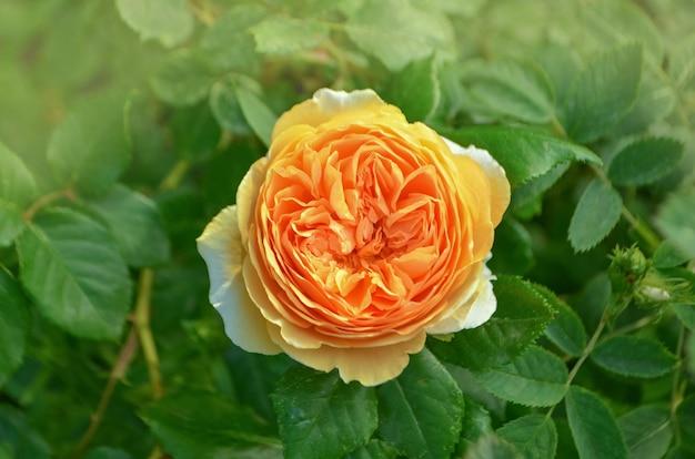 Rosa con foglie e fiori sani senza parassiti. bella rosa gialla con le foglie verdi che crescono nel giardino. le fioriture gialle ricche sono aumentato