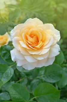 Rosa con foglie e fiori sani senza parassiti. bella rosa gialla con le foglie verdi che crescono nel giardino